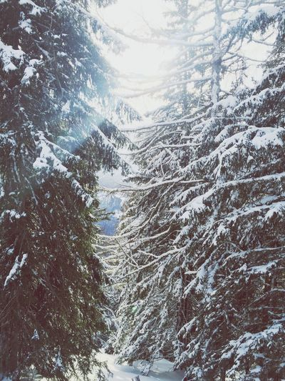 Tree Snow Ski Sun Forest Sport