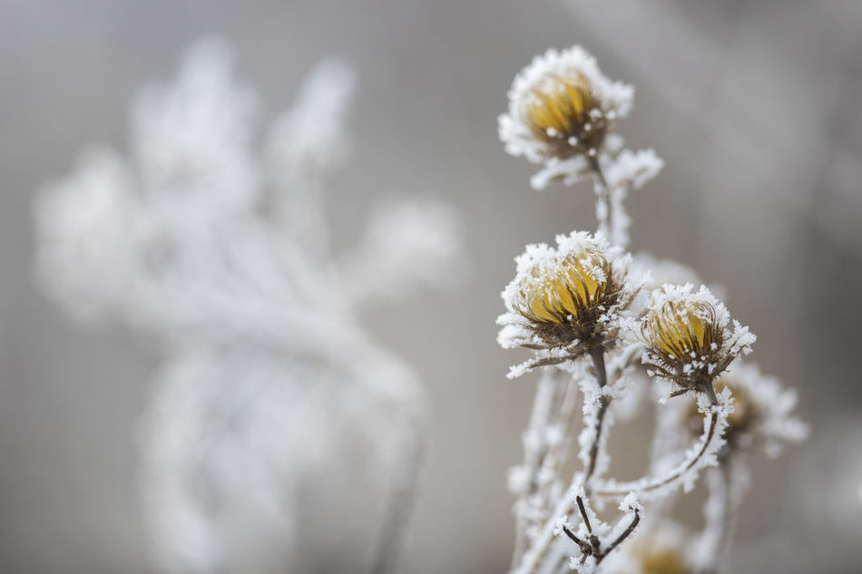 [Canon EF 300mm f/2.8 L IS II USM] Beauty In Nature Cold Cold Day Cold Days Cold Temperature Cold Weather Flower Flower Head Frost Frosty I Nature Outdoors Plant Rime White Frost Winter Winterscapes Wintertime