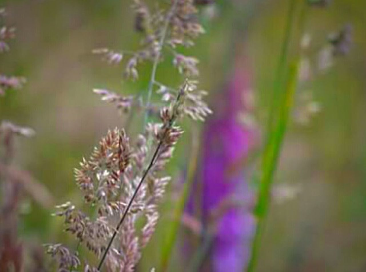flower, nature, growth, plant, purple, fragility, outdoors, freshness, day, no people, focus on foreground, field, beauty in nature, close-up, springtime, grass, flower head