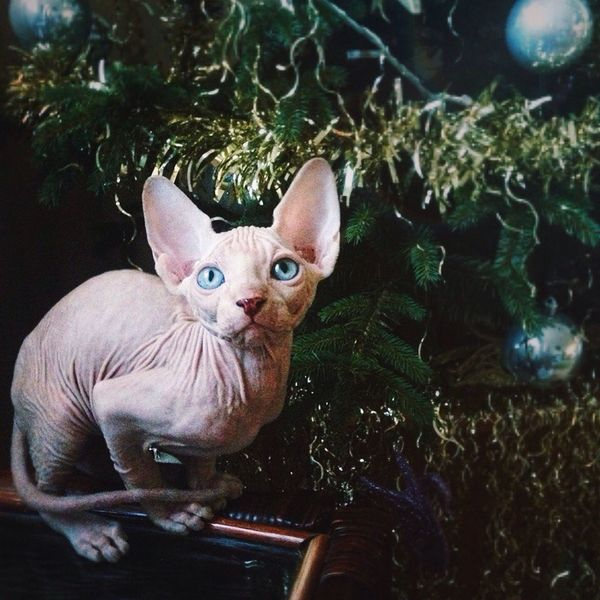 Looking At Camera Pets Domestic Cat Portrait Domestic Animals No People Indoors  Mammal Day Sphynxportrait Sphynx Cat Sphynxlove