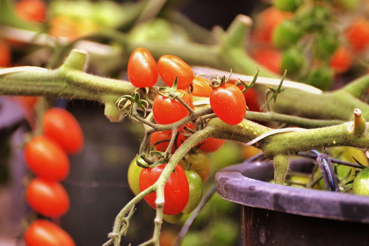 Tomatoes Enjoying The Sun Taking Photos Enjoying Life EyeEm Best Edits Tomate