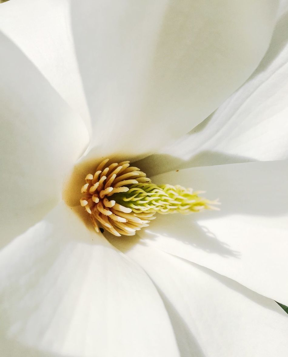 Beautiful stock photos of magnolia, Backgrounds, Beauty In Nature, Blossom, Botany