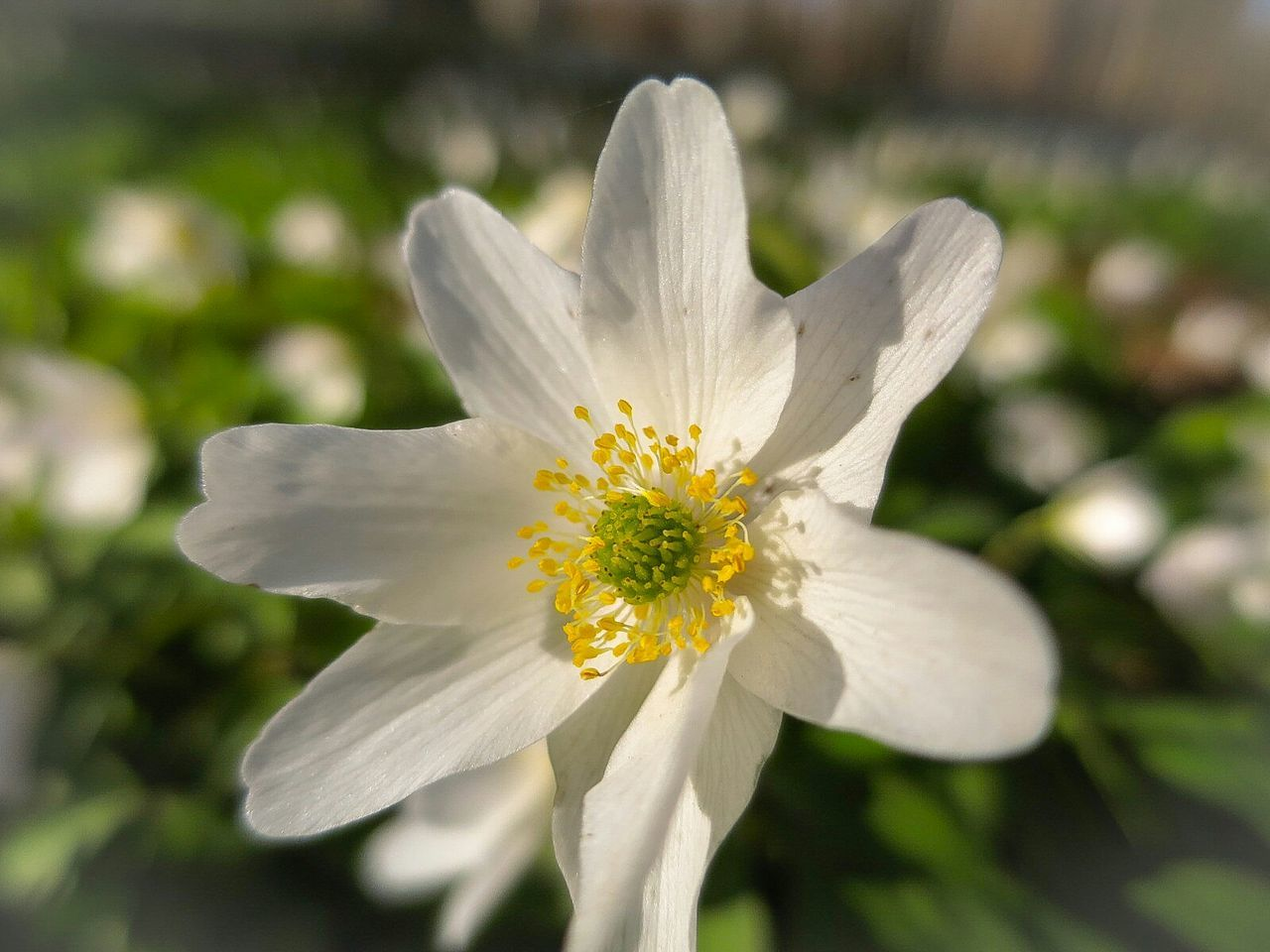 Wood Anemone Close-up Spring Flower Forest Commuting