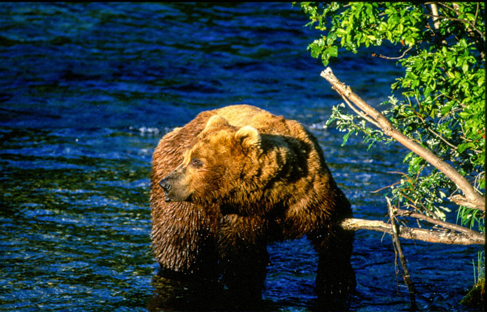 Alaska Alaska Bear Beauty In Nature Blue Brooks Falls Brown Close-up Day Green Green Color Growth Lake Mammal Nature No People Outdoors Plant Rippled Tranquility Water