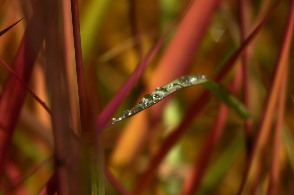 Autumn 3. Miscanthus Sinensis Ornamental Grass Close-up Water Drop Beauty In Nature Macro Plants Bokehlicious Blade Of Grass Colour Pop Autumn Colours Of Autumn Colourful Macro Nature Water Droplets Macro Photography Bokeh Love