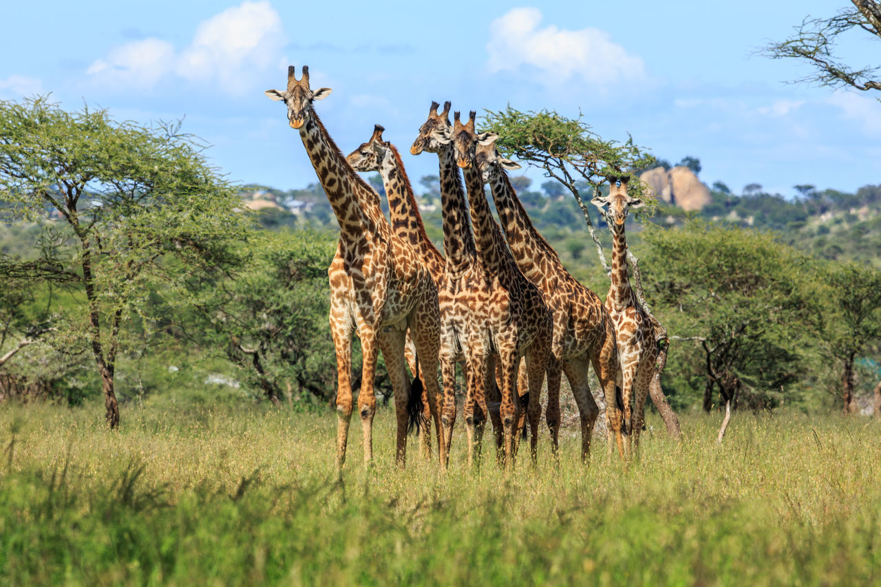 Six in a frame. A herd of Masai Giraffe in the Serengeti with the Rift valley mountains in the background. The Masai giraffe, also spelled Maasai giraffe, also called Kilimanjaro giraffe, is the largest subspecies of giraffe native to East Africa, also the tallest land mammal. The Masai giraffe can be found in central and southern Kenya and in Tanzania. Africa Animal Animals Beautiful Beautiful Nature Beauty Beauty In Nature Giraffa Camelopardalis Tippelskirchi Giraffa Camelopardalis Tippelskirchi Giraffe Kilimanjaro Giraffe Masai Giraffe Nature Nature Photography Post Card Safari Serengeti National Park Tanzania Travel Wild Wildlife Wildlife & Nature Wildlife Photography