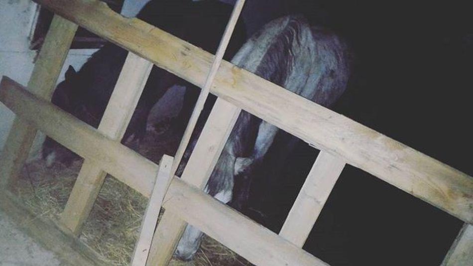 лошадь Конюшня серый мерин Horse Stable Gray 회색 말 아름다움