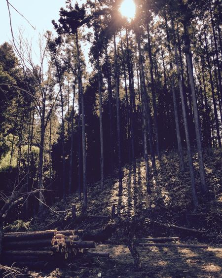 間伐のおかげで、陽が差し込むようになってきた。 里山 田舎 自然 Japan Nature Countryside Thinning Sunlight Through Trees