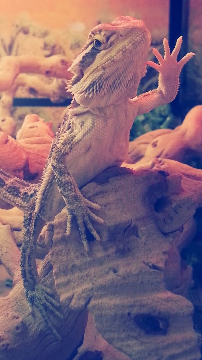 Bearded Dragon LIZARDS ARE FRIENDS NOT FOOD Beautiful Day Say Hello To My Little Friend Say Hello Happy Glorious Animal Photography Animals