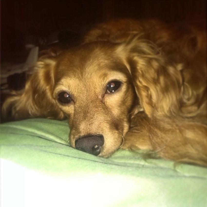 Boa noite. Doggy Junior  Dog Fera Little Life Best  Melhor_do_mundo Amô Ele Sono Sonolento Cabeludo