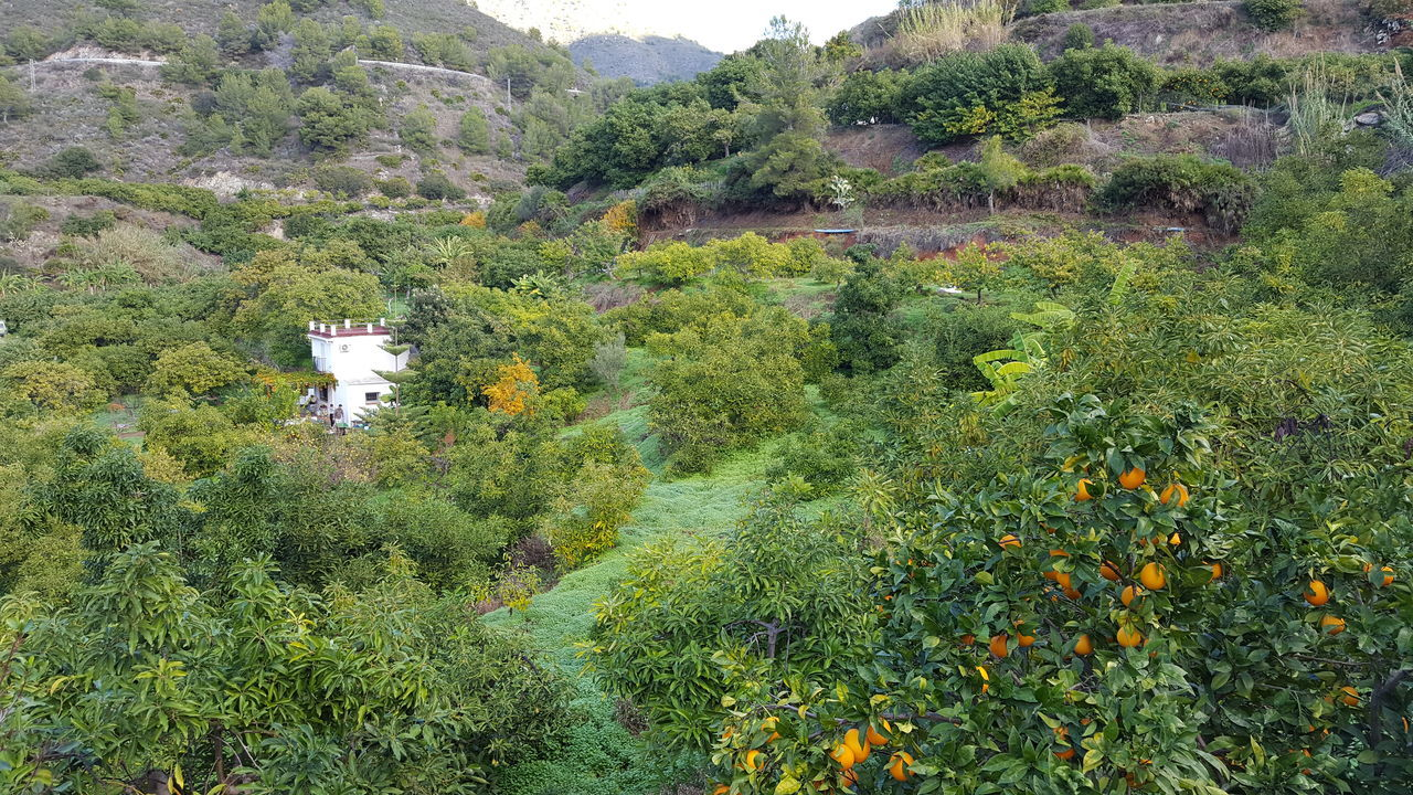 Green Garden Growth Nature Green Paradise Fruit Trees Orange Tree Green Color Beauty In Nature Mountains Finka Avocado Tree EyeEmNewHere Travel Destinations Winter In Spain Oranges Growing On The Tree Costa Tropicana