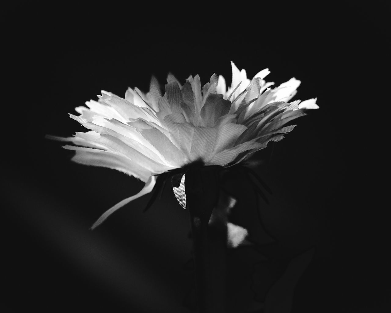 Beauty In Nature Black Background Close-up Day Flower Flower Head Fragility Freshness Growth Nature No People Outdoors Petal Plant Studio Shot