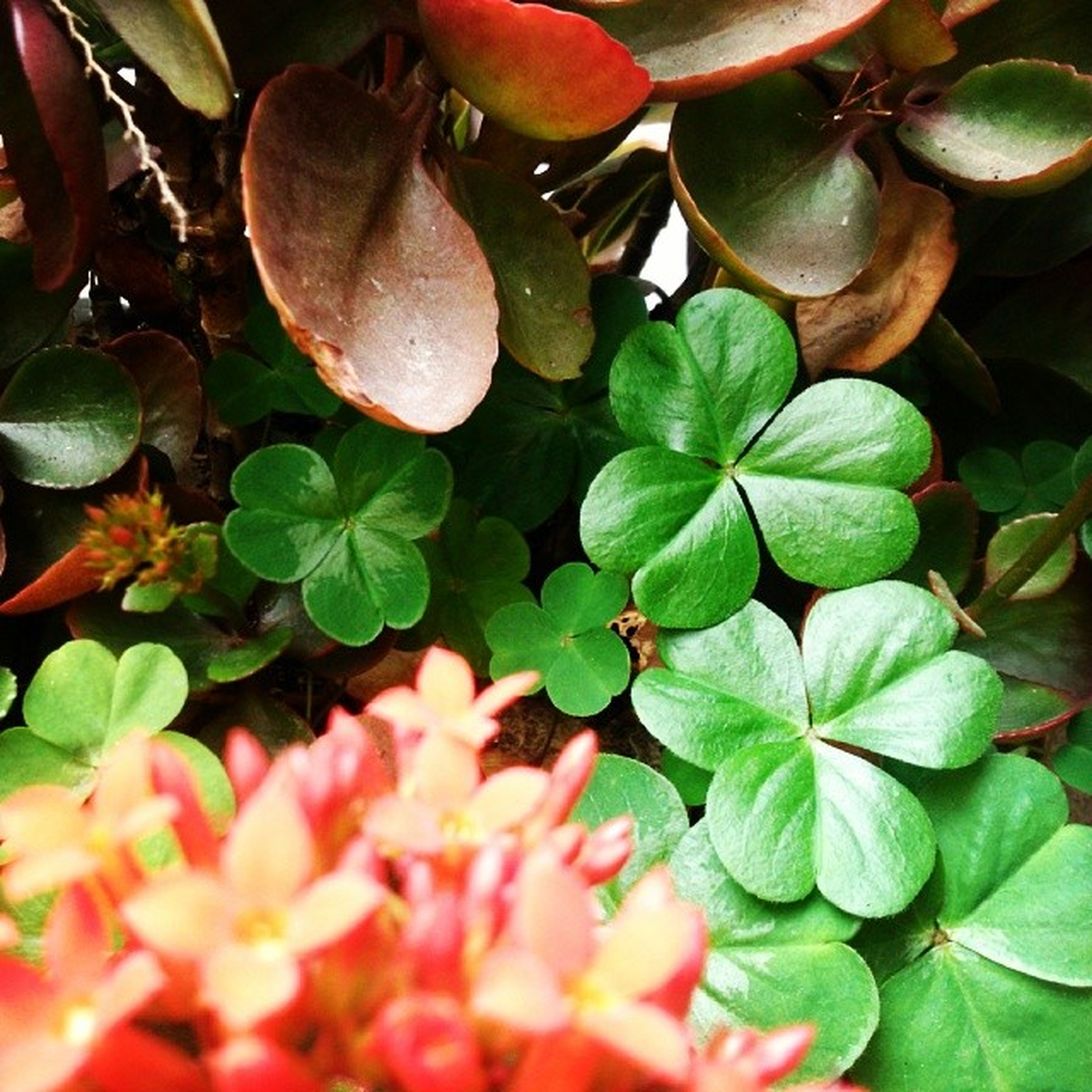 leaf, growth, plant, freshness, full frame, nature, backgrounds, beauty in nature, fragility, close-up, green color, leaves, red, flower, high angle view, natural pattern, botany, succulent plant, leaf vein, growing