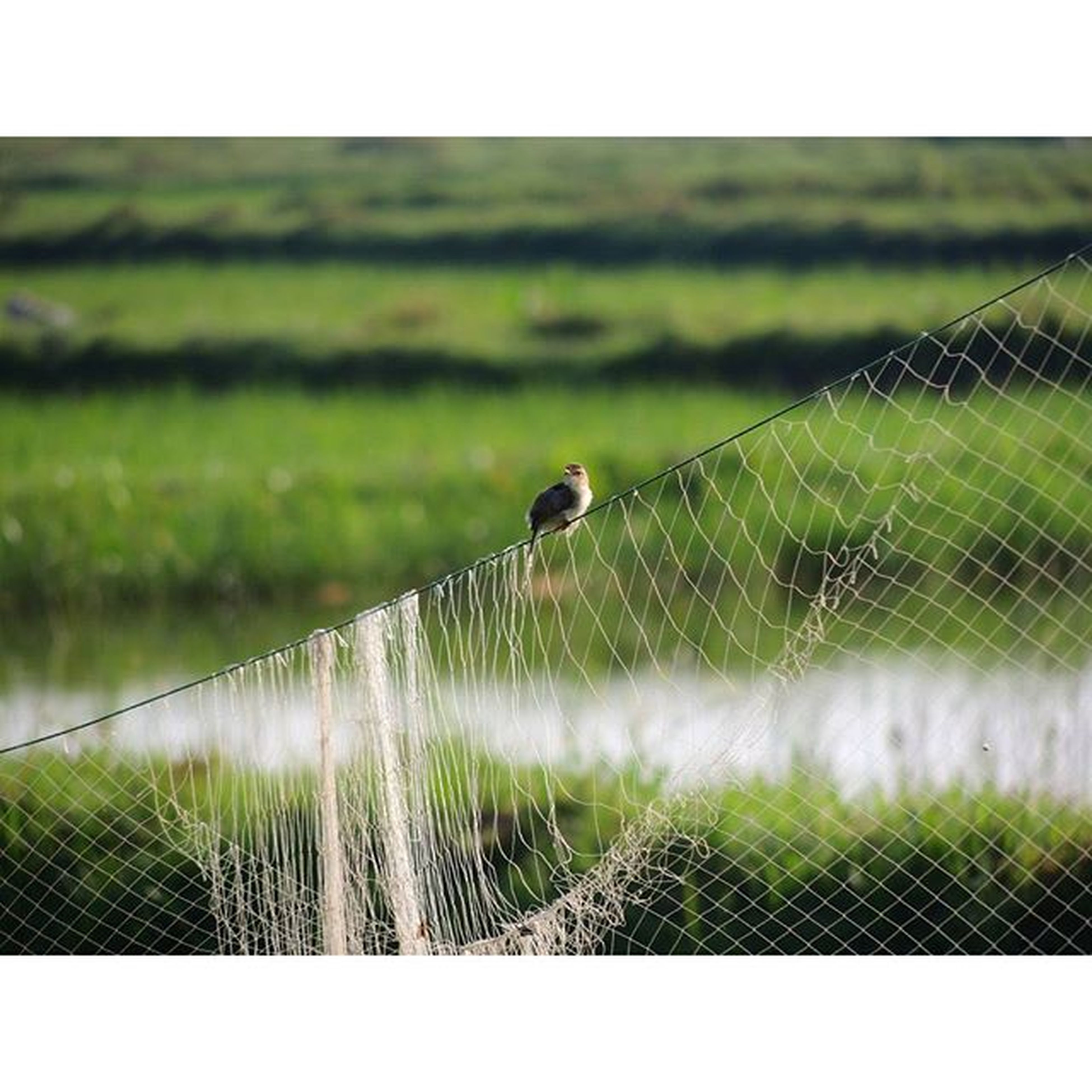 transfer print, grass, auto post production filter, fence, field, focus on foreground, green color, nature, animal themes, growth, plant, close-up, grassy, protection, day, outdoors, no people, chainlink fence, wildlife, beauty in nature