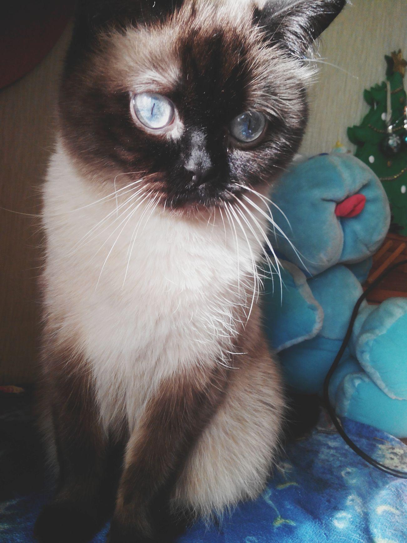 Моя любовь голубые глаза бирма священнаябирма черныелапки черныеушки мойумка моялюбовь моесчастье кот Cat