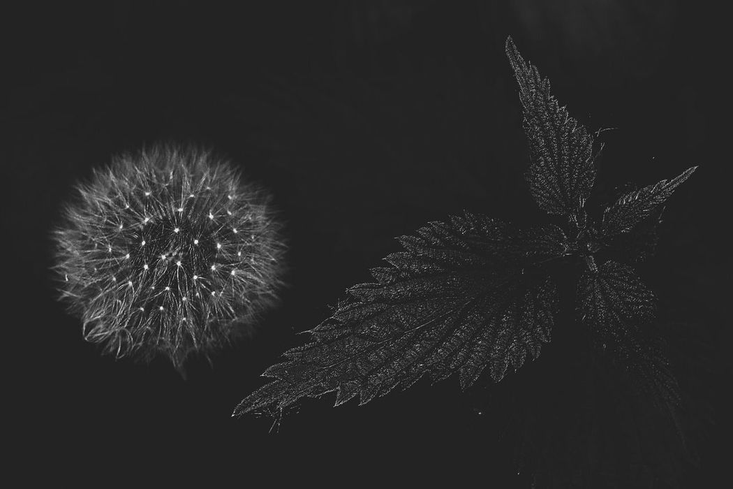 Black Background Motion Night Arts Culture And Entertainment Firework Display Silhouette Sky No People Firework - Man Made Object Low Angle View Firework Outdoors Dandelion Nettle EyeEm Best Shots - Nature EyeEm Nature Lover EyeEm Best Shots Nature