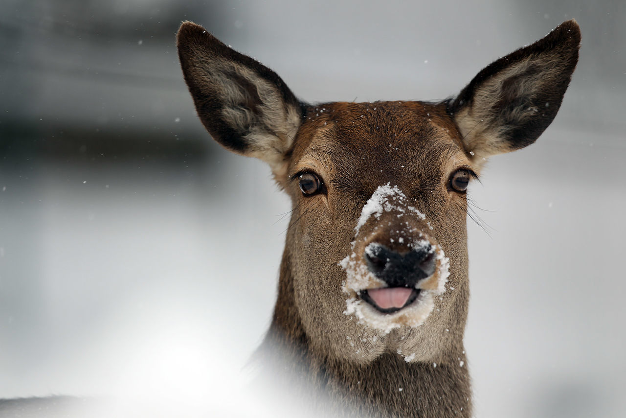 Bääääh! :-P Animal Animal Body Part Animal Photography Animal Themes Animal Wildlife Animal_collection Animals In The Wild Animals In The Wild Close-up Day Deer Elk Funny FUNNY ANIMALS Looking At Camera Mammal Nature Nature Photography No People One Animal Outdoors Portrait Red Deer Snow Snowing