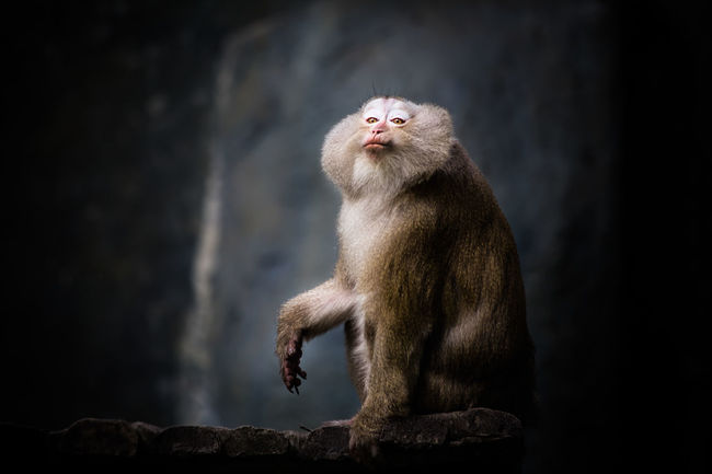 Welcome To My Safari :) Southern pig-tailed macaque Animal Themes Animals In The Wild Day Focus On Foreground Kiss Lowkey  Lowlight Mammal Monkey Nature Nature Photography No People One Animal Sitting Zoo Zoo Animals  Zoology Zoophotography
