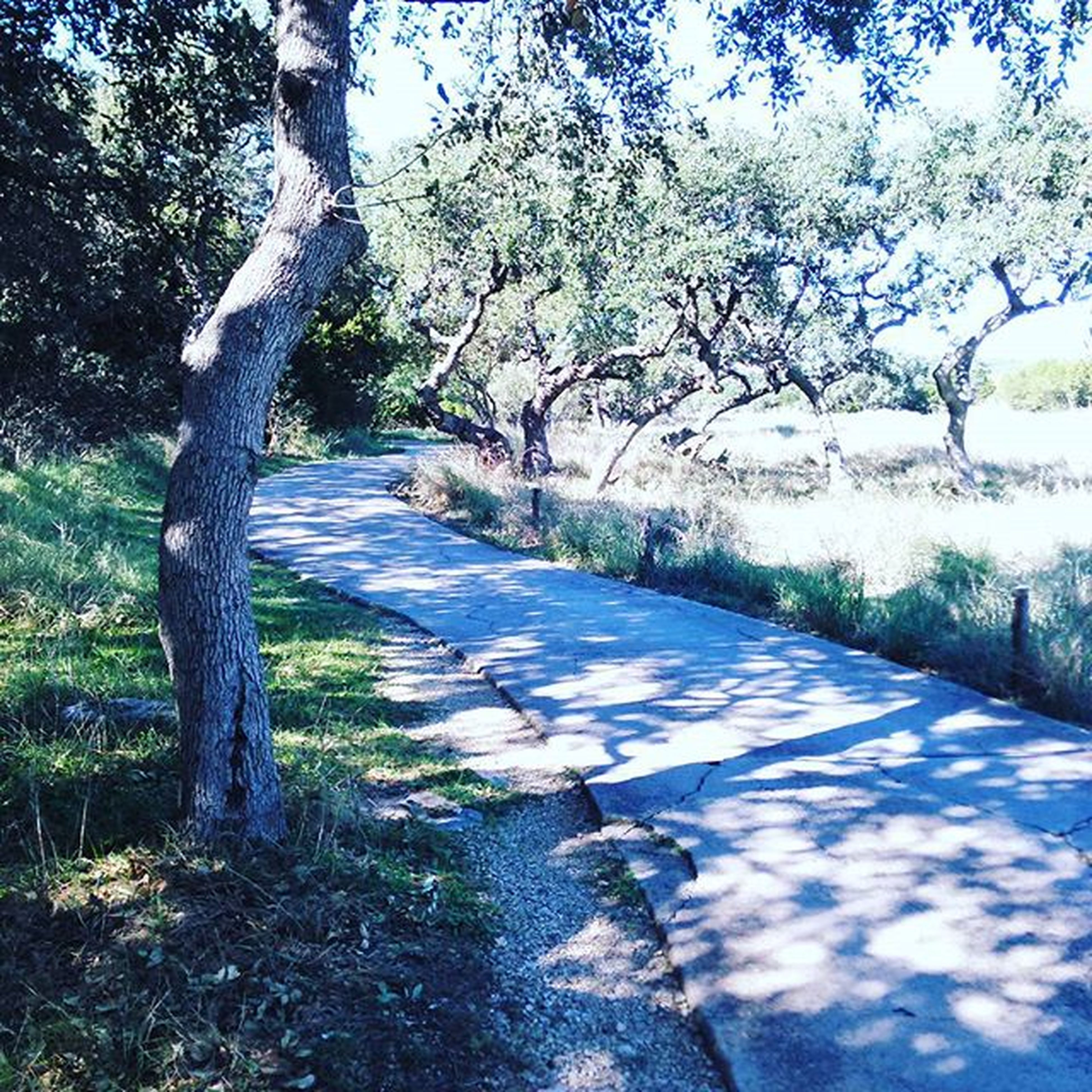 tree, the way forward, shadow, sunlight, tranquility, footpath, diminishing perspective, growth, nature, branch, tree trunk, tranquil scene, vanishing point, day, beauty in nature, park - man made space, walkway, road, no people, outdoors
