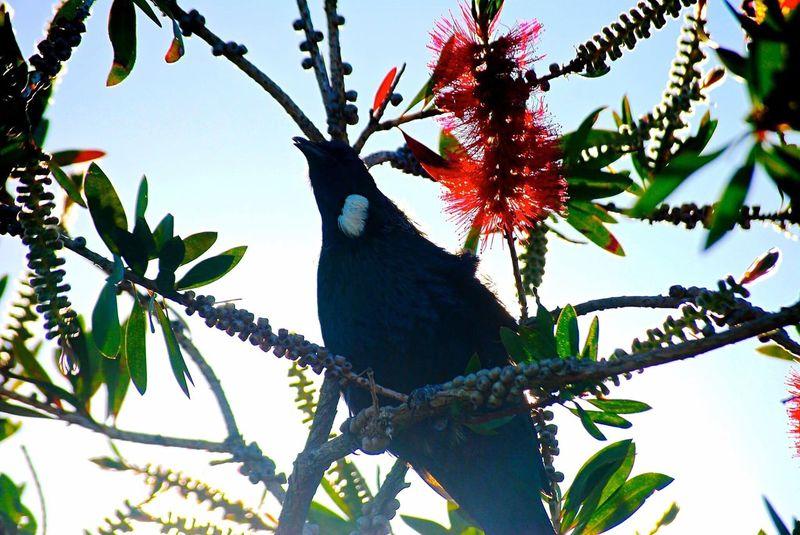 Tui Bird Branch Tree Perching One Animal Animals In The Wild Animal Themes Animal Wildlife No People Native Bird Native Bird Of New Zealand Nature Low Angle View Day Outdoors Beak Woodpecker Sky
