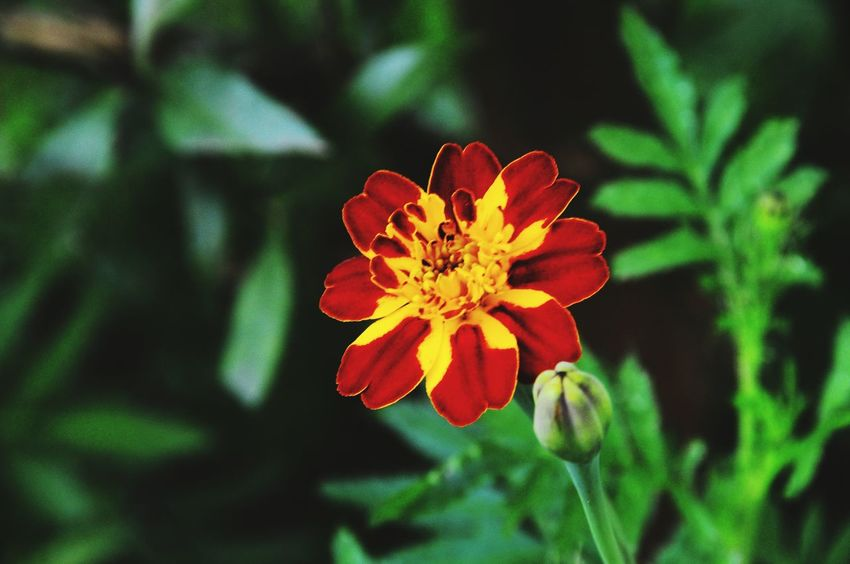 Flower Red Nature Beauty In Nature Petal Flower Head Fragility Growth Outdoors Close-up Plant No People Freshness Zinnia  Day Flowerporn Flower Collection Beauty In Nature Plant