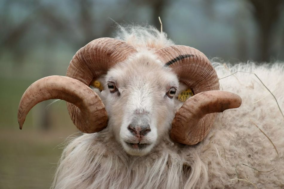 Beautiful stock photos of sheep, Animal Themes, Curled, Day, Domestic Animals