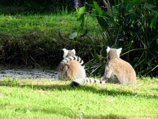 Grass Animal Themes Nature Green Color No People Outdoors Lemurs Turnyourback Cute Zoo Animals  Contemplating