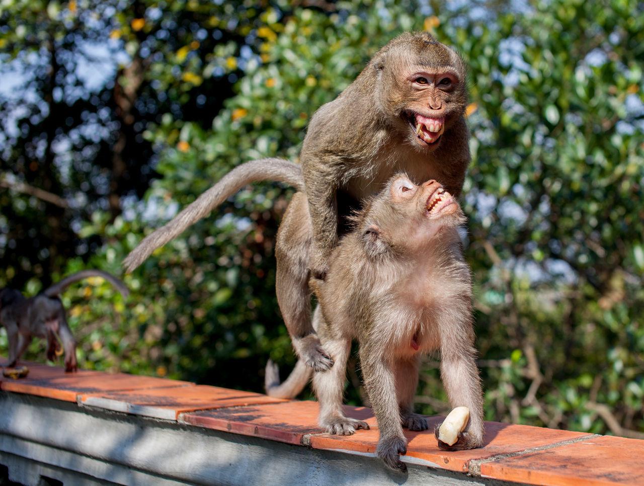 Beautiful stock photos of monkey, Animal Behavior, Animal Wildlife, Animals In The Wild, Animals Mating