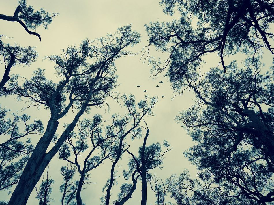 Birds Cockatoos Evening Light Silohette Trees And Nature Trees And Sky Treetops Twilight Sky