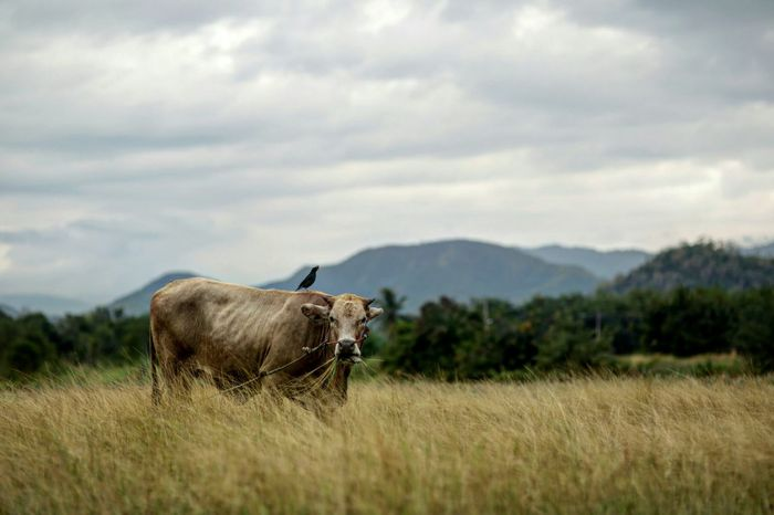 One Animal Mammal Domestic Animals Animal Themes Livestock Nature Beauty In Nature Grass Field No People Outdoors Standing Landscape Highland Cattle Sky Agriculture Day Mountain