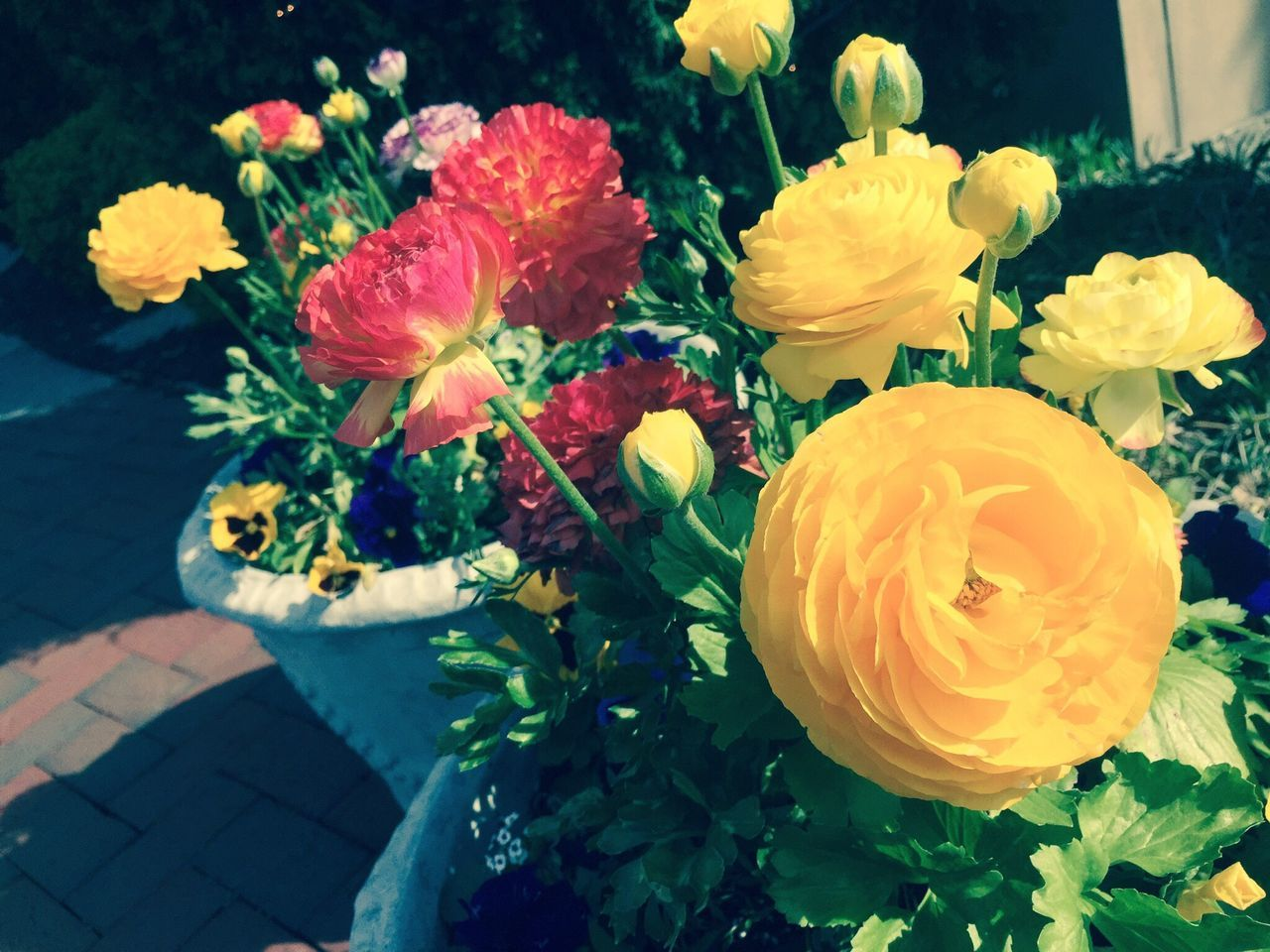 IPhoneography Multicolors  Red Flower Plant Petal Beauty In Nature Nature Freshness Yellow No People Blooming Outdoors Close-up Ranunculus Flowers Flower Pot