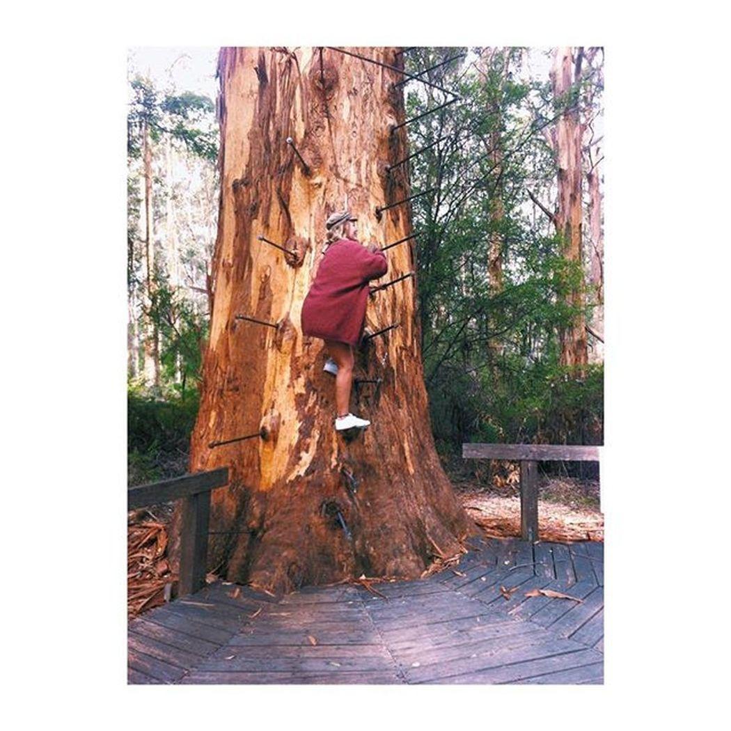 Climbing the 70 meter Gloucester tree Gloucester Tree Lookout Doodeng Nationalpark Bibber Beentjes View Check