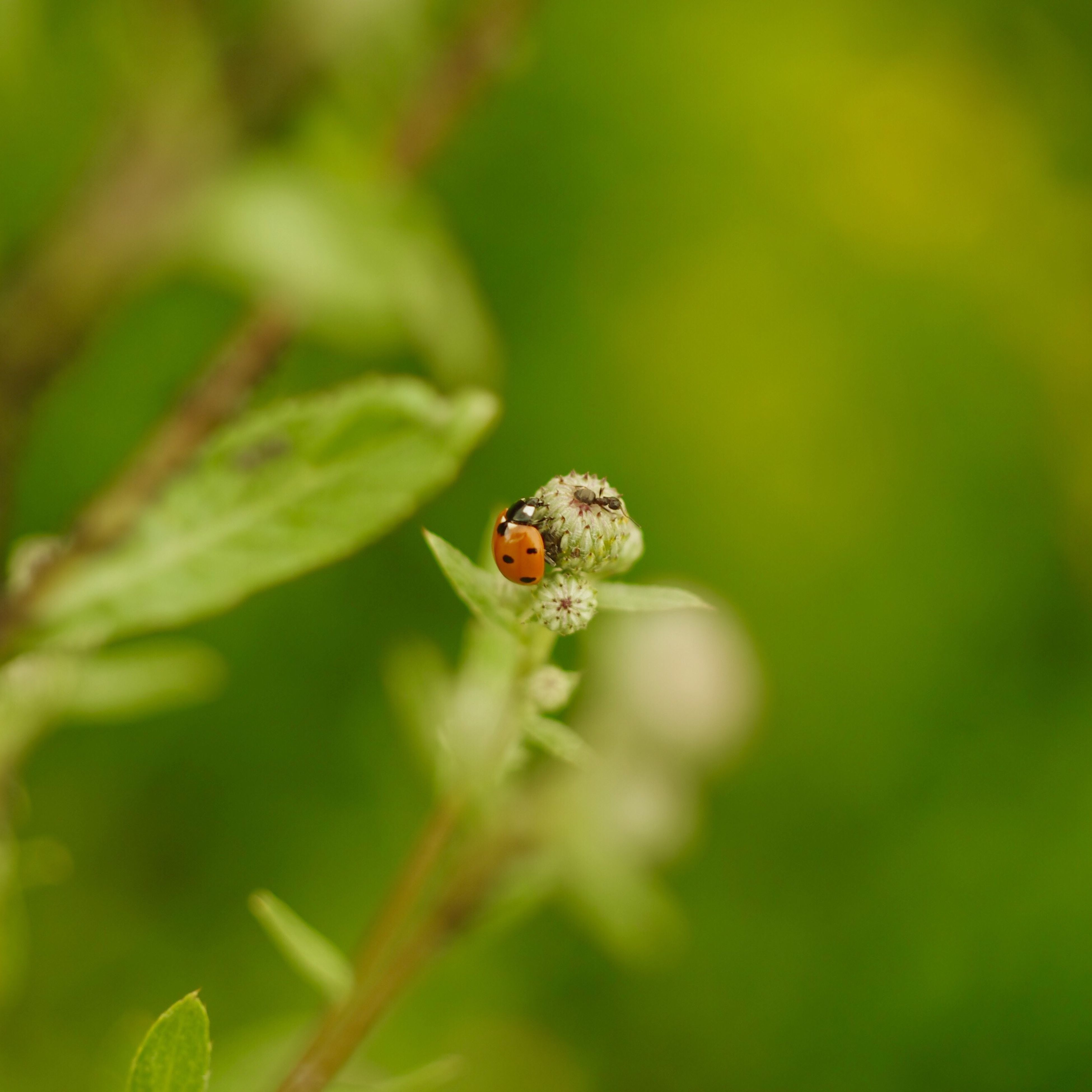 animal themes, animals in the wild, one animal, insect, wildlife, ladybug, close-up, selective focus, nature, plant, zoology, new life, fragility, growth, focus on foreground, day, freshness, green color, outdoors, green, bug, beauty in nature, red, tiny, springtime, no people, petal