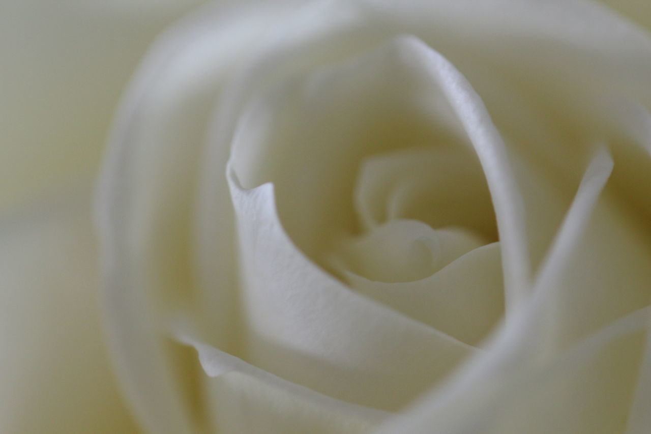 No People Rosen Flower Photography Roses Flowers  Flowers, Nature And Beauty Macro Photography Beauty In Nature Other Point Of View No Filter, No Edit, Just Photography Close-up Nice View Nature Beauty Macro Flowerphotography White Flowers