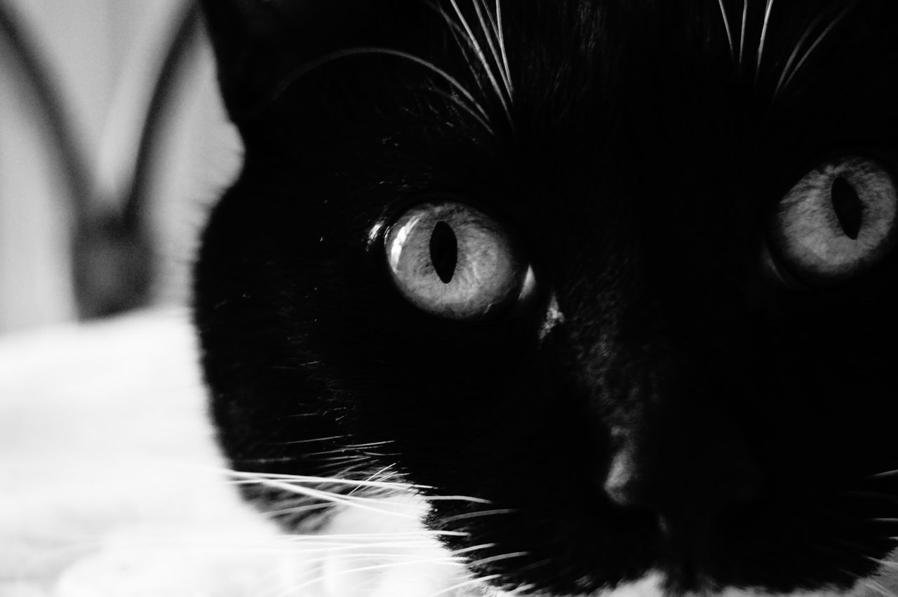 Ciapaciapa . One Animal Pets Looking At Camera Portrait Domestic Animals Mammal Animal Themes Close-up Domestic Cat Cat Eyes Eyes Watching You Black & White Photography Bnwpictures Black And White Photography Cat