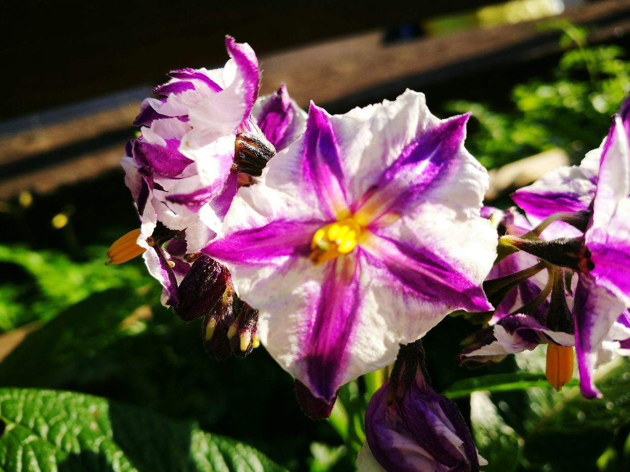 flower, petal, fragility, beauty in nature, freshness, nature, flower head, plant, growth, no people, purple, close-up, outdoors, day, focus on foreground, sunlight, blooming, petunia
