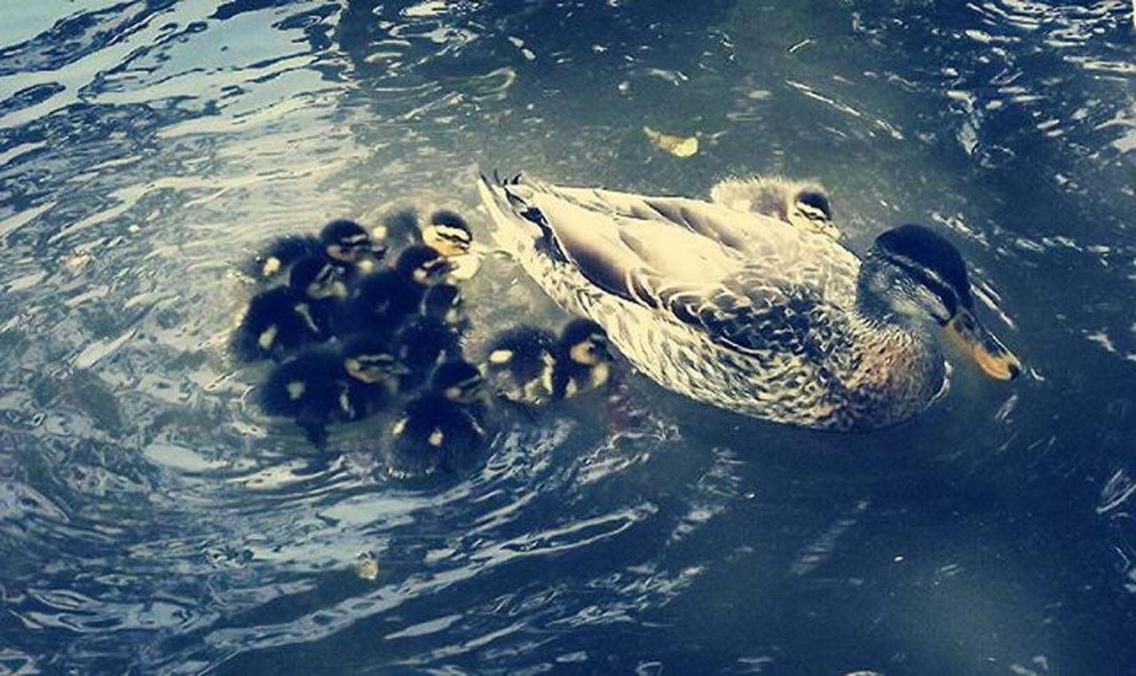 Ducklings Duck Ducks Pond Cornwallpark Park Bbft_lovelybirds Pocket_farms Fyp_feathers