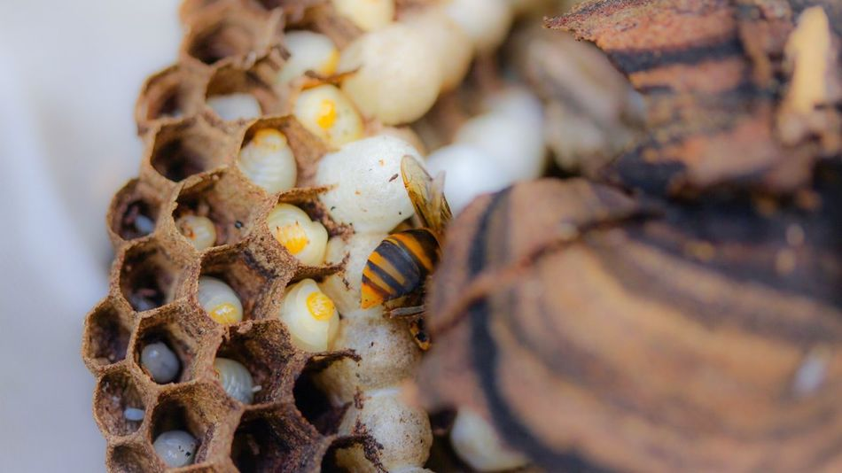 Hornet's Nest Comb Nature Insect Macro Larva  Macro Nature Getting Inspired Talking Pictures In My Garden