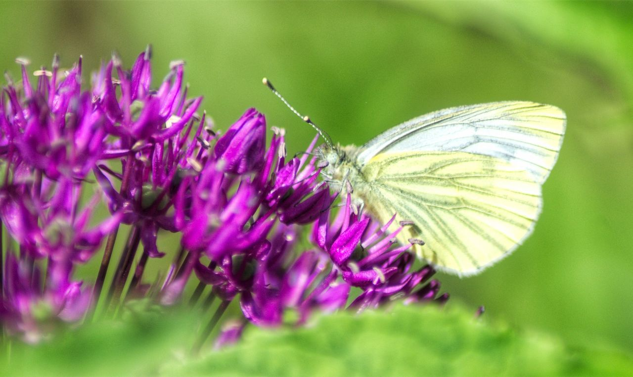 Butterfly Butterfly Collection Flower Garden Flowers Green Color Macro Beauty Macro Photography Outdoor Photography Purple Purple Flower