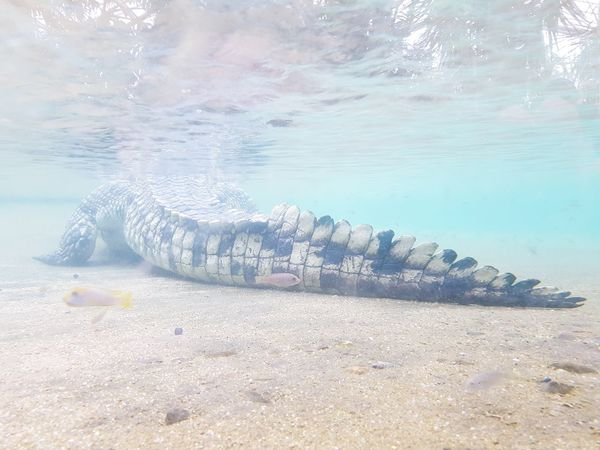 Underwater Water Sand Nature Reptile Outdoors Beauty In Nature Crocodile Panzer Krokodil From Behind Backside Backside Portrait Little Fishes Soft Light Soft Colors  Soft And Strong Underwater Photography Animals Animal Themes Blue Water Sea UnderSea Beach EyeEmNewHere