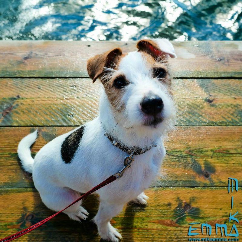 We got ours self an New Family Member. An Jackrussell. Dog Kalmar Sweden Russell Hund Cute