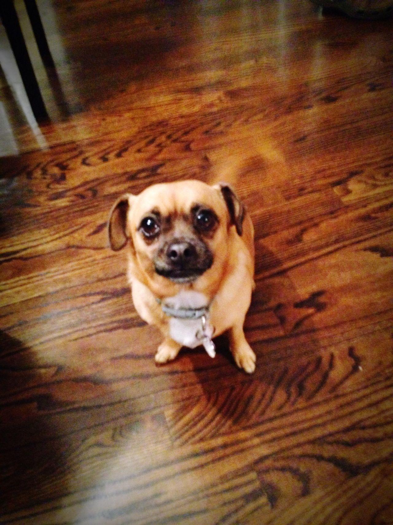 Pets Dog Lap Dog Loyalty