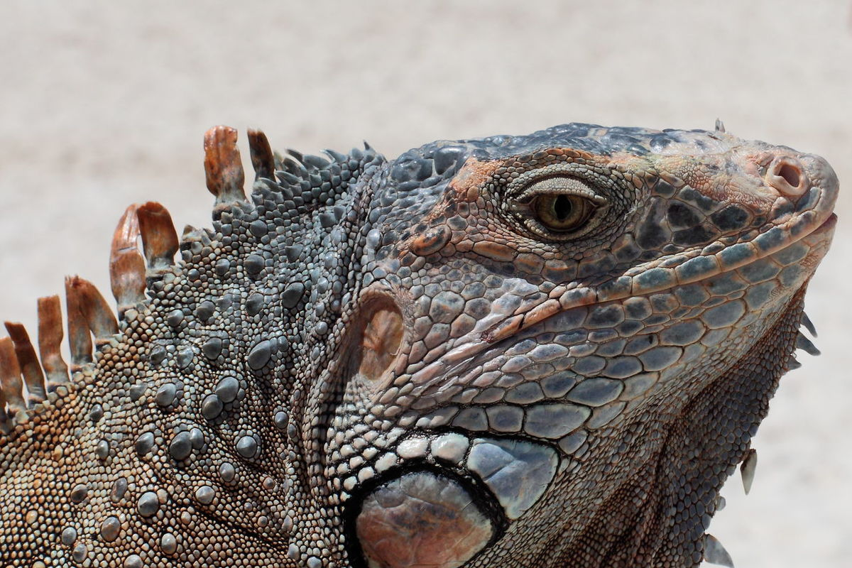iguana #animal Portrait #beautifulnature #dinosaurier #iguana #animal #nature #playa #beach #nopeople #portrait