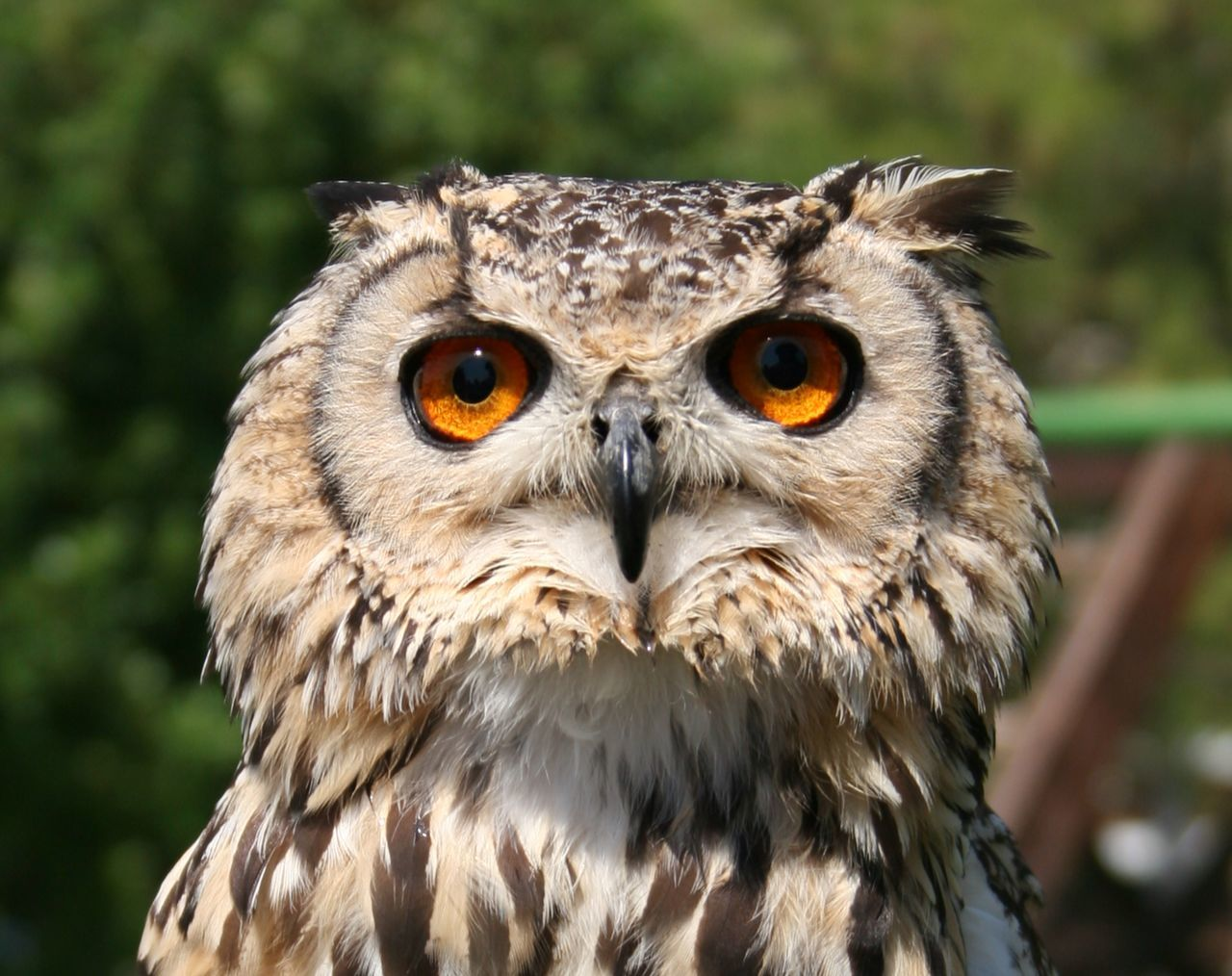 Bird Photography Bokeh Close-up Eagle Owl  Eyes Watching You Nature No People Owl Eyes