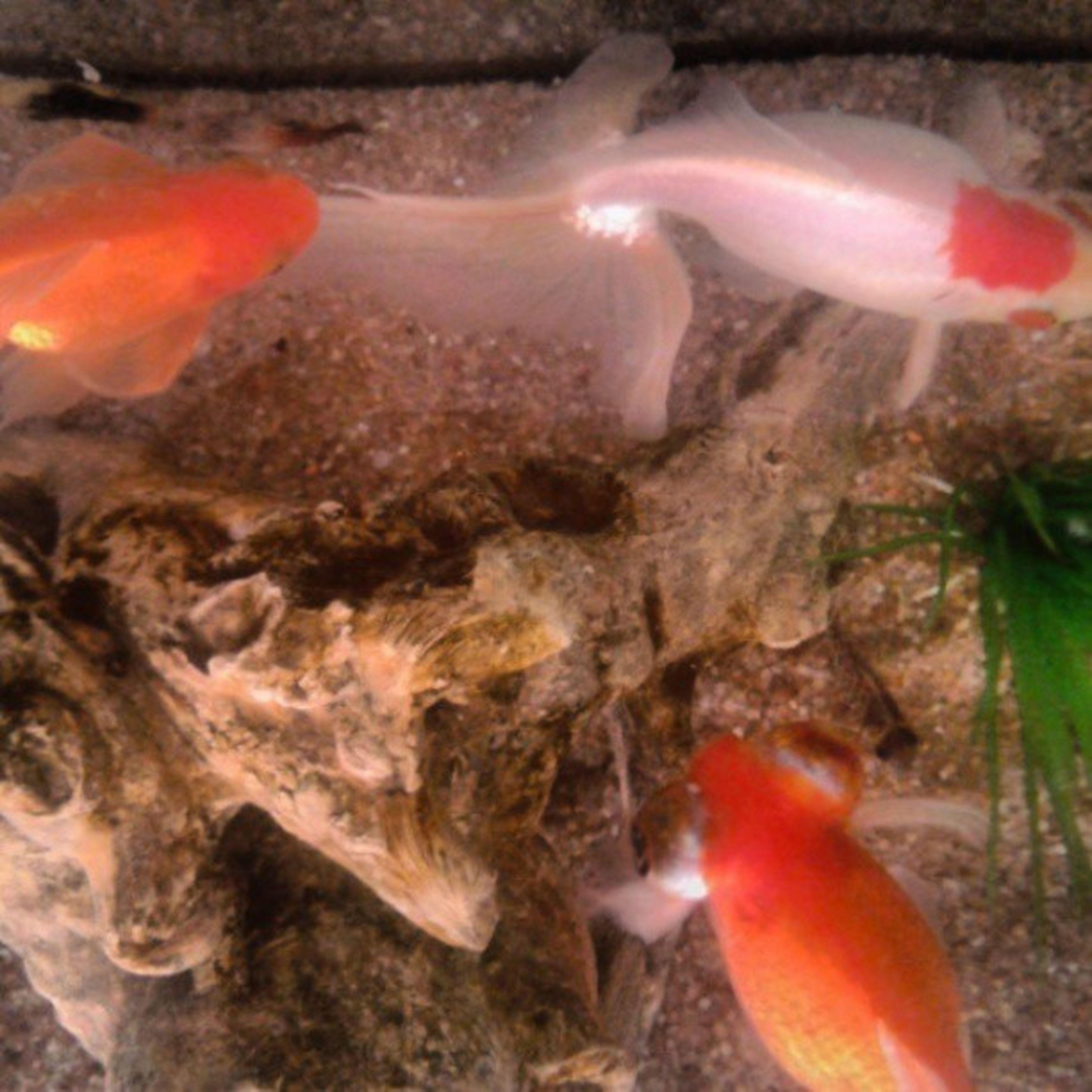 fish, animal themes, water, sea life, animals in the wild, underwater, swimming, wildlife, orange color, koi carp, school of fish, sea, nature, undersea, close-up, high angle view, beauty in nature, aquarium, no people