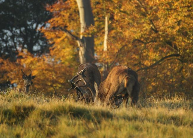 Animals In The Wild Field Animal Themes Grass Nature Animal Wildlife Outdoors Mammal Day No People Deer Beauty In Nature Red Deer Red Deer Rut Deer Rut Autumn Cheshire Trees Park Parkland Fighting