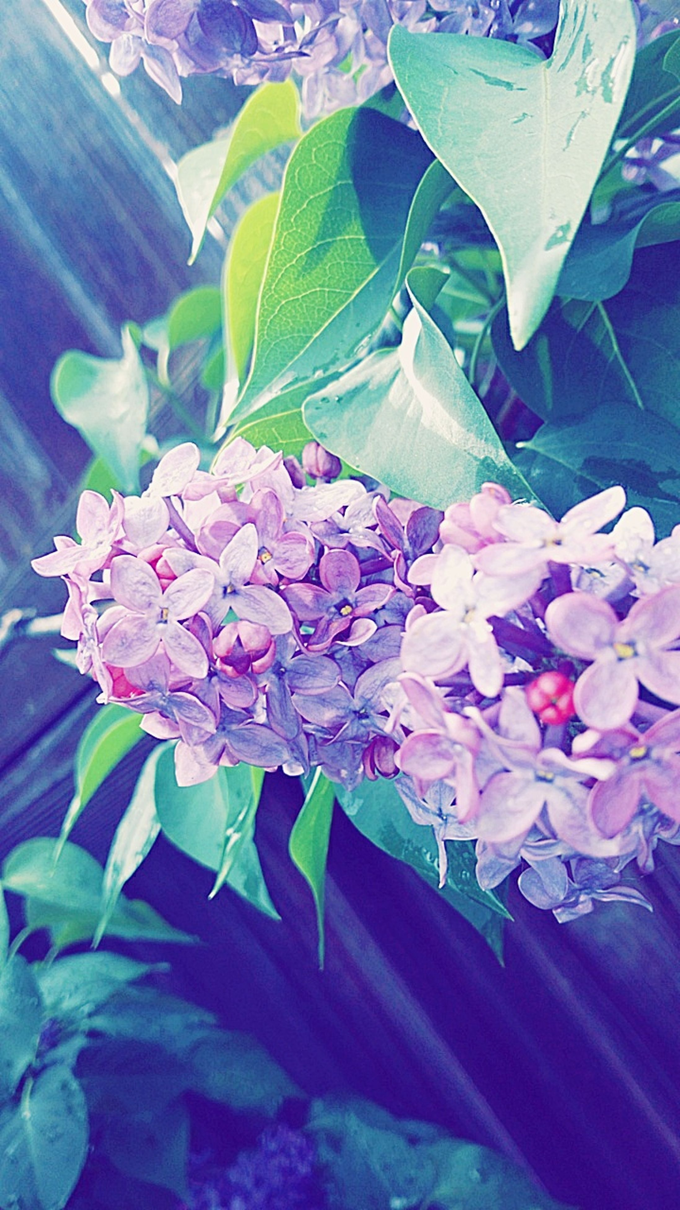 flower, fragility, beauty in nature, leaf, petal, nature, plant, freshness, no people, flower head, growth, close-up, outdoors, day, lilac, blooming