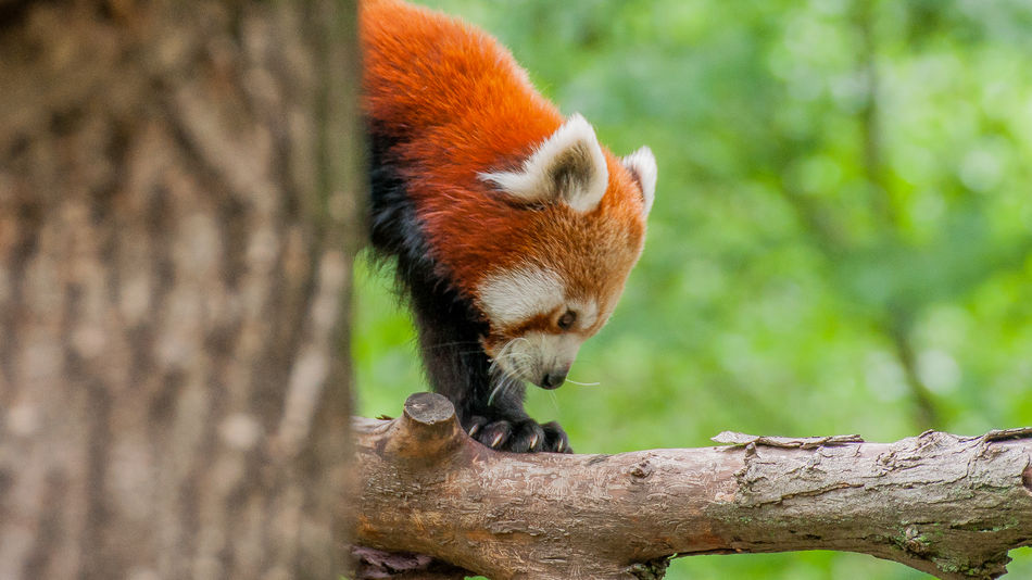 Animal Themes Animal Wildlife Animals In The Wild Branch Close-up Day Focus On Foreground Mammal Nature No People One Animal Outdoors Panda - Animal Red Panda Red Panda Tree Tree Trunk