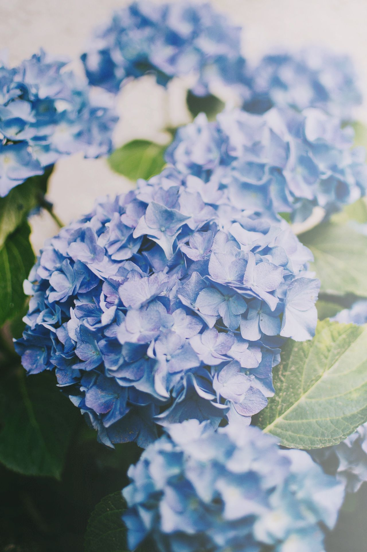 Hydrangea time 💙 Hydrangea Flower Flower Head Flower Collection Summertime Beauty In Nature Nature Fragility Plant Growth Freshness Blooming Outdoors EyeEm Best Shots EyeEm Nature Lover EyeEm Gallery Live For The Story Place Of Heart