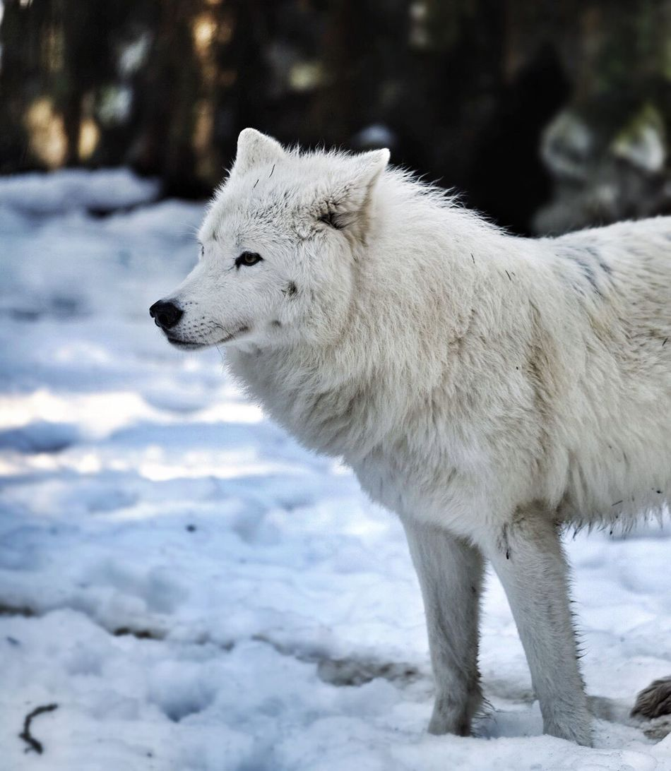 Beautiful stock photos of wolf, Alertness, Animal Themes, Animals In Captivity, Animals In The Wild